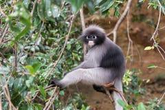 Scimmia oscura della foglia nella foresta Immagine Stock