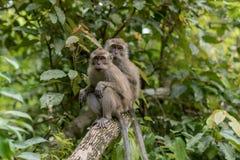 Scimmia in Pandangaran, Java fotografie stock