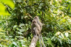 Scimmia in Pandangaran, Java fotografia stock libera da diritti
