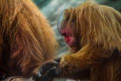 Scimmia peruviana Immagine Stock Libera da Diritti