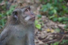 Scimmia a più florest Fotografie Stock Libere da Diritti