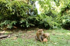Scimmia piacevole della madre che mangia noce di cocco con i bambini su erba Fotografie Stock