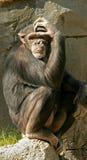 Scimmia premurosa Fotografie Stock Libere da Diritti