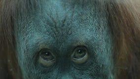 Scimmia premurosa di sguardo stock footage