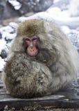 Scimmia preoccupantesi della madre Fotografie Stock