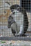 Scimmia prigioniera triste Fotografia Stock Libera da Diritti