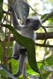 Scimmia rossa Fotografia Stock Libera da Diritti