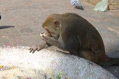 Scimmia rossa Fotografia Stock