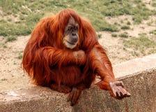 Scimmia rossa Fotografie Stock