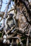 Scimmia rossa di colubus Immagini Stock Libere da Diritti
