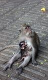 Scimmia sacra Forest Sanctuary Immagine Stock