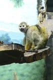 Scimmia scoiattolo Immagine Stock Libera da Diritti