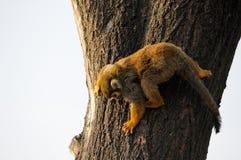 Scimmia scoiattolo Immagini Stock