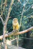 Scimmia scoiattolo Fotografia Stock