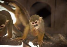 Scimmia scoiattolo fotografie stock