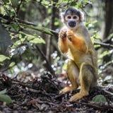 Scimmia scoiattolo boliviana Immagini Stock Libere da Diritti