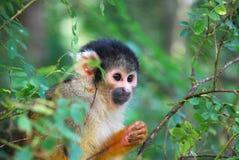 Scimmia scoiattolo che dà una occhiata fra gli alberi Immagini Stock