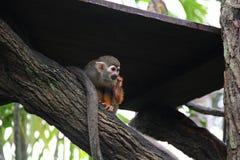 Scimmia scoiattolo comune che si nasconde dal sole Fotografia Stock