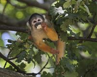 Scimmia scoiattolo comune, sciureus del Saimiri Fotografie Stock