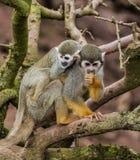 Scimmia scoiattolo con del bambino la parte posteriore sopra fotografie stock