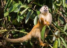 Scimmia scoiattolo da Manuel Antonio, Costa Rica fotografie stock