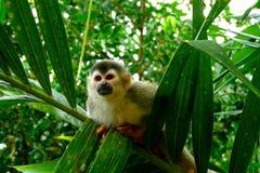 Scimmia scoiattolo nel Costa Rica fotografia stock