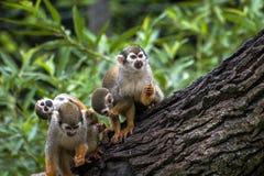 Scimmia scoiattolo (sciureus del Saimiri) Fotografie Stock Libere da Diritti