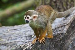 Scimmia scoiattolo (sciureus del Saimiri) Immagini Stock