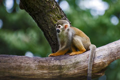 Scimmia scoiattolo (sciureus del Saimiri) Fotografia Stock