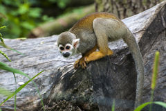 Scimmia scoiattolo (sciureus del Saimiri) Immagine Stock Libera da Diritti