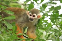 Scimmia scoiattolo sudamericana Immagini Stock Libere da Diritti