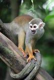 Scimmia scoiattolo sull'albero 1 Fotografie Stock Libere da Diritti
