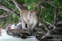 Scimmia selvaggia Immagini Stock