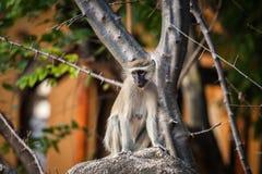 Scimmia selvaggia Immagine Stock