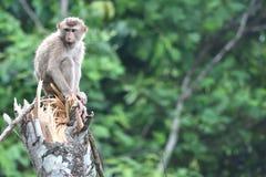 Scimmia selvaggia Fotografie Stock
