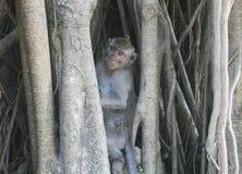 Scimmia selvaggia che si nasconde in un albero Fotografia Stock