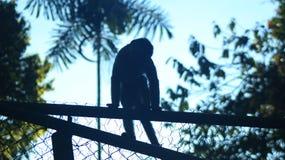 Scimmia selvaggia che si siede sopra la precedente gabbia di parecchie scimmie prigioniere fotografia stock