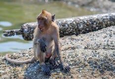 Scimmia selvaggia Hua Hin Beach Thailand immagini stock libere da diritti