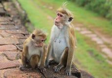 Scimmia in Sir Lanka Fotografia Stock