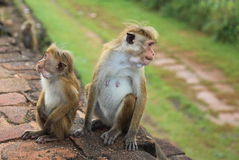 Scimmia in Sir Lanka Immagine Stock