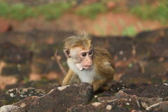 Scimmia in Sir Lanka Immagine Stock Libera da Diritti