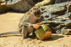 Scimmia soddisfatta con una noce di cocco Fotografie Stock