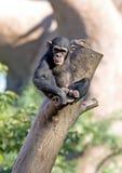 Scimmia sola che si siede in cima ad un grande circuito di collegamento di albero fotografia stock libera da diritti