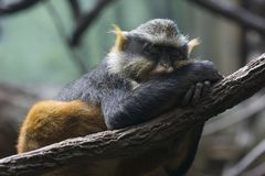 Scimmia sonnolenta Fotografia Stock Libera da Diritti
