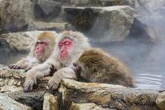 Scimmia stanca ed amici della neve in sorgenti di acqua calda Immagine Stock