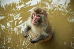 Scimmia su acqua Fotografia Stock Libera da Diritti