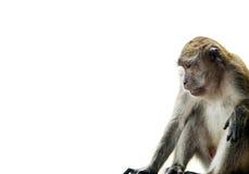 Scimmia su bianco Fotografia Stock