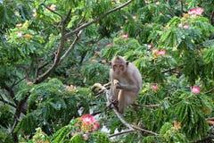Scimmia su un'acacia sbocciante Immagine Stock Libera da Diritti