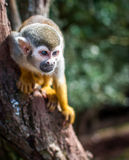 Scimmia su un albero Fotografia Stock Libera da Diritti