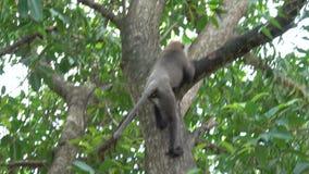 Scimmia su un albero nella giungla stock footage
